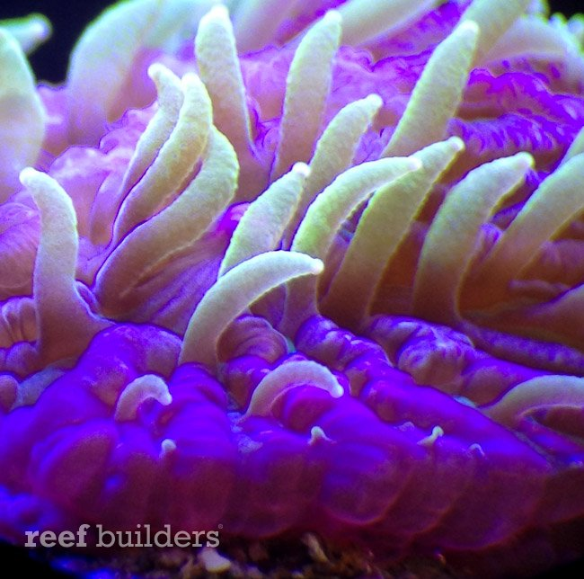 encrusting fungia coral