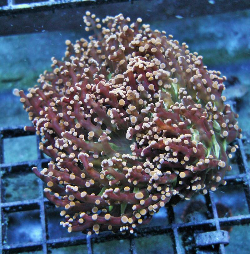 Gonzo-Corals-1