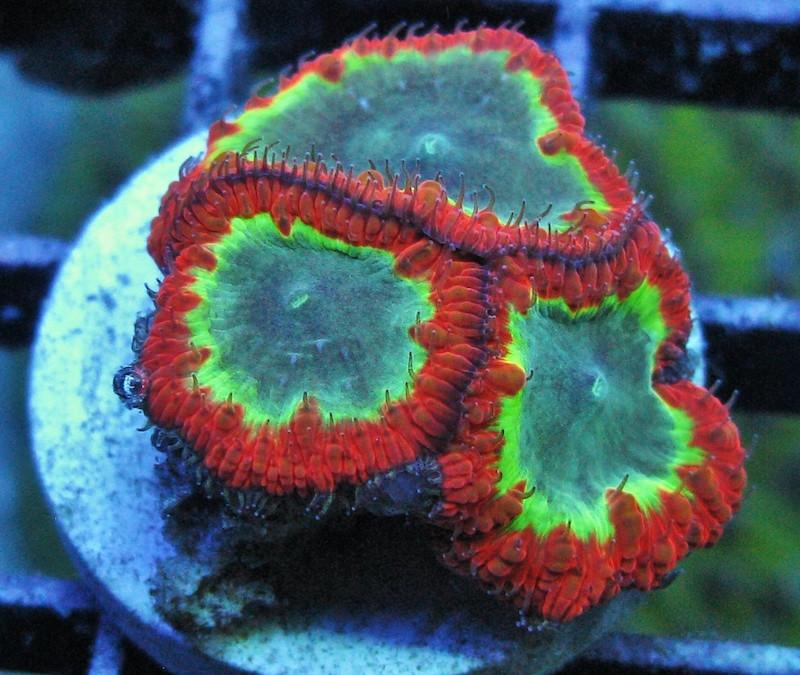 Gonzo-Corals-2