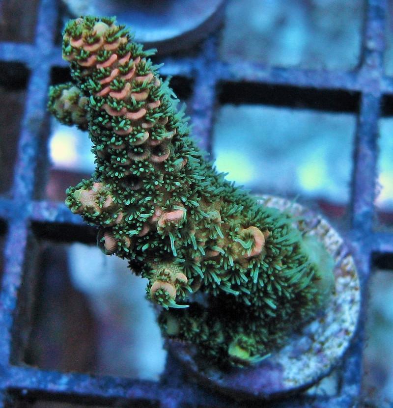 Gonzo-Corals-3
