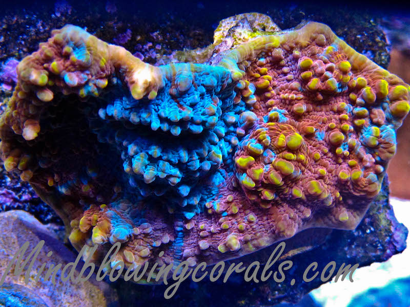 Mind-Blowing-Corals-2