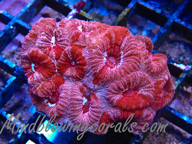 Mind-Blowing-Corals-3