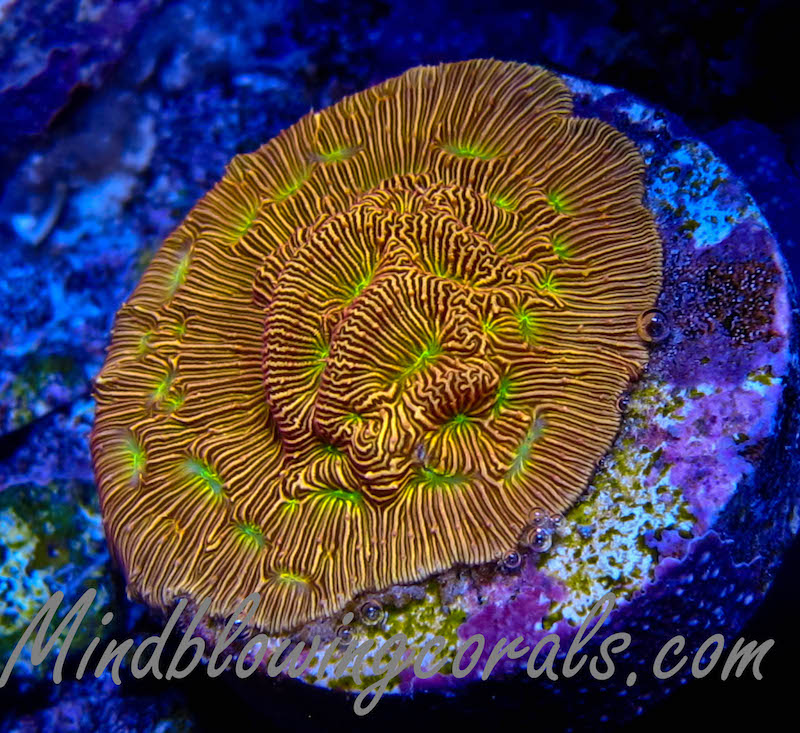 Mind-Blowning-Corals-1