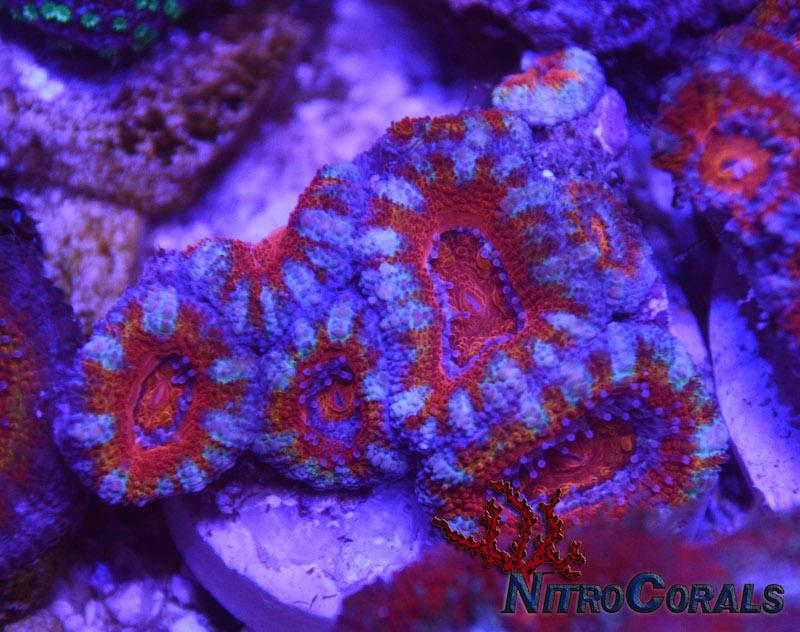 Nitro-Corals-4