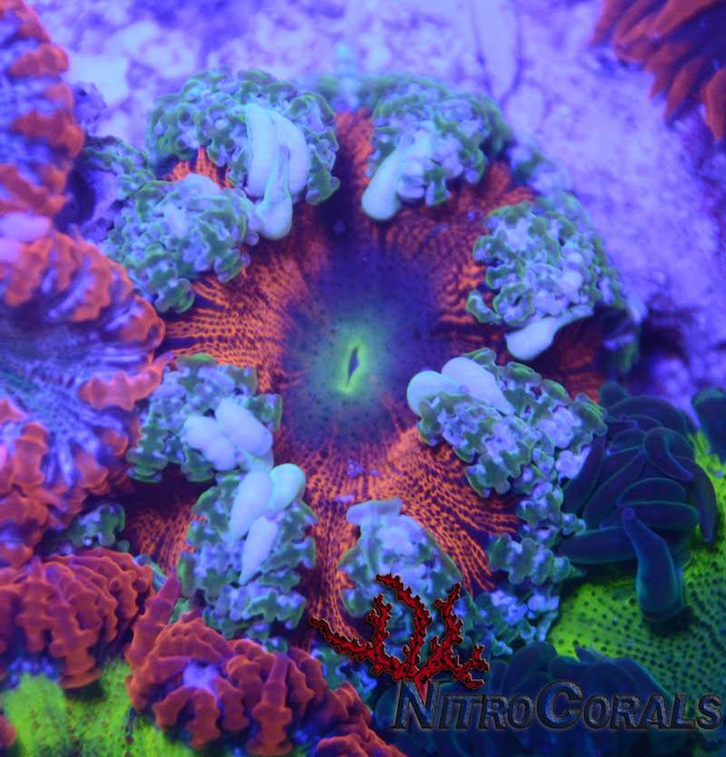 Nitro-Corals-6