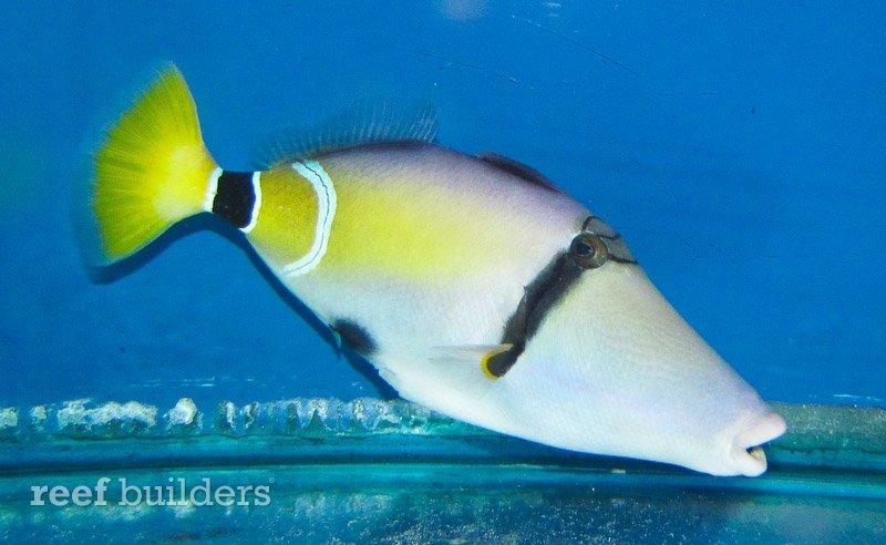 mauritius triggerfish