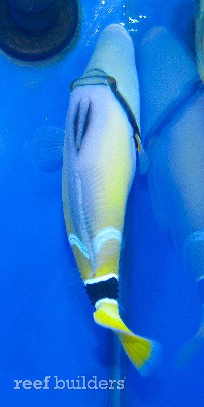 rhinecanthus-cinereus-4