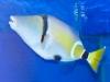 rhinecanthus-cinereus-5