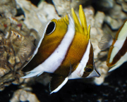 roa excelsa butterflyfish-1