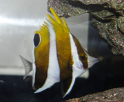 roa excelsa butterflyfish-2