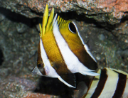 roa excelsa butterflyfish-3