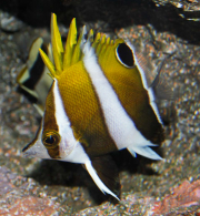 roa excelsa butterflyfish-4