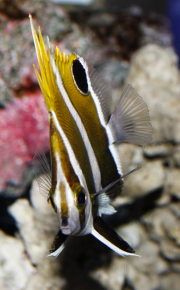 roa excelsa butterflyfish-5