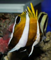 roa excelsa butterflyfish-6