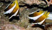 roa excelsa butterflyfish-7