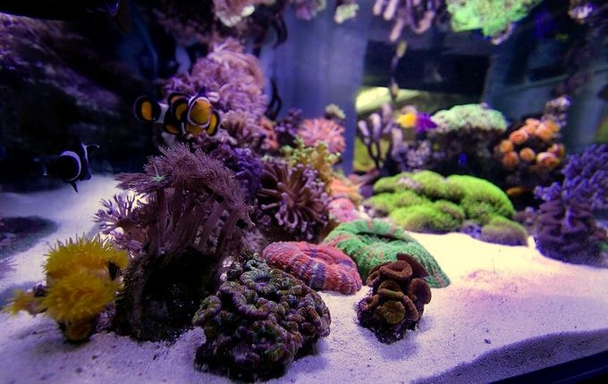 Additional Information Description  Star Polyps Green Star Polyps And Daisy Polyps Pachyclavularia  . Green Star Polyp Lighting Requirements. Home Design Ideas