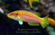 b. bimaculatus.jpg