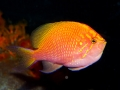 sunburst-anthias-2