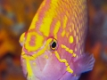 sunburst-anthias-3