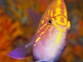 sunburst-anthias-4