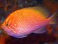 sunburst-anthias-5