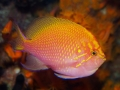 sunburst-anthias