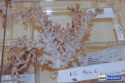 smithsonian coral collection-26