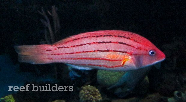fourline hogfish