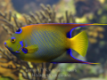 queen angelfish.jpg