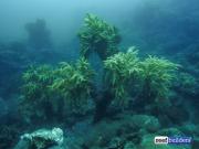 reef building soft coral sinularia-1.jpg