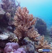 reef building soft coral sinularia-11.jpg