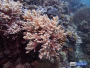 reef building soft coral sinularia-9.jpg