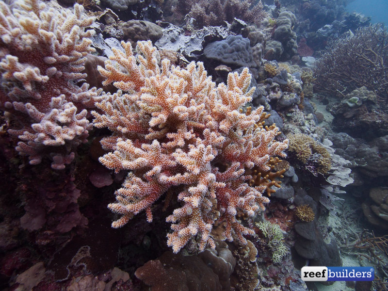 """Reef Building Soft Coral Has The Thickest Stony """"branches"""". Family Room Designs. Wide Curtains. 30 Stainless Steel Range Hood. Modern Bathroom Sinks. Square Rugs. Barn Door Closet. Outdoor Flooring Ideas. Black Bathtub"""