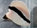 tailless-bandit-angelfish-2