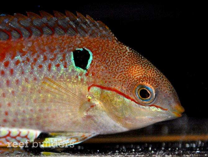 Macropharyongodon vivienae leopard wrasse from madgascar