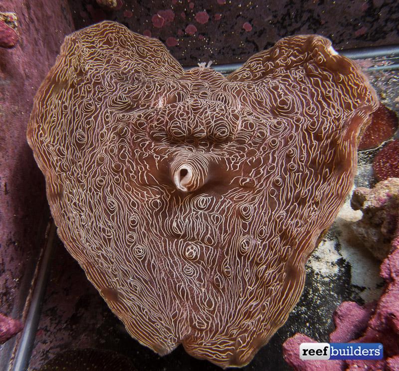 tiger devil clam-1.jpg