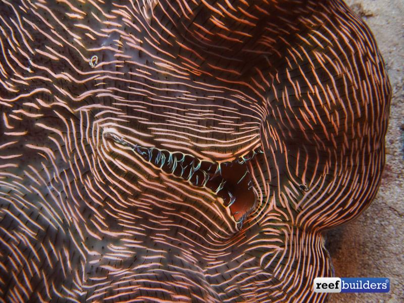 tiger devil clam-4.jpg