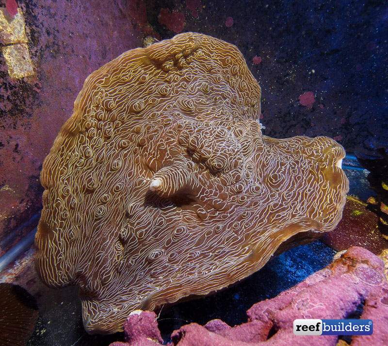 tiger devil clam-6.jpg