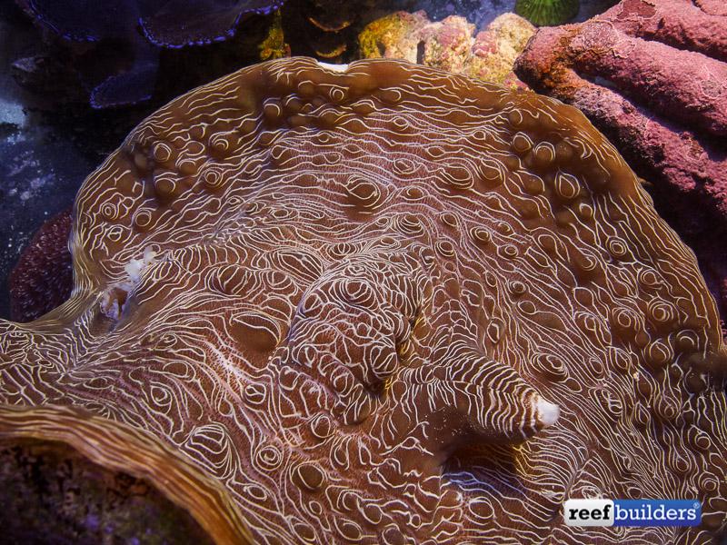 tiger devil clam-8.jpg