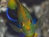 tigerpyge-hybrid-lemonpeel-eibli-angelfish-6