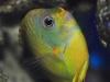 tigerpyge-hybrid-lemonpeel-eibli-angelfish-7