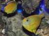 tigerpyge-hybrid-lemonpeel-eibli-angelfish-9