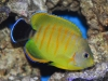 tigerpyge-hybrid-lemonpeel-eibli-angelfish
