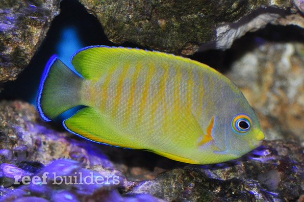 tigerpyge-hybrid-lemonpeel-eibli-angelfish-2