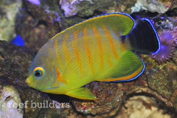 tigerpyge-hybrid-lemonpeel-eibli-angelfish-3
