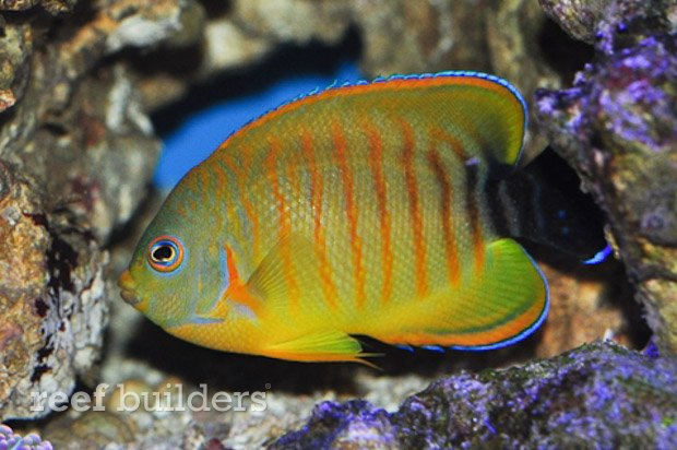 tigerpyge-hybrid-lemonpeel-eibli-angelfish-4