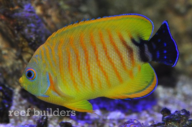 tigerpyge-hybrid-lemonpeel-eibli-angelfish-5