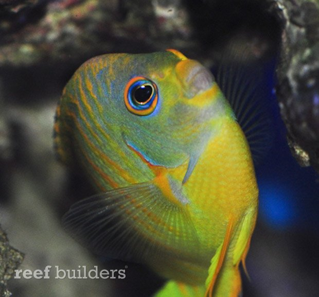 tigerpyge-hybrid-lemonpeel-eibli-angelfish-7
