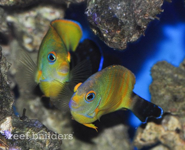 tigerpyge-hybrid-lemonpeel-eibli-angelfish-8