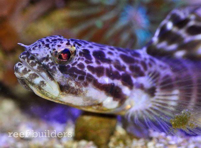 large show goby reef fish